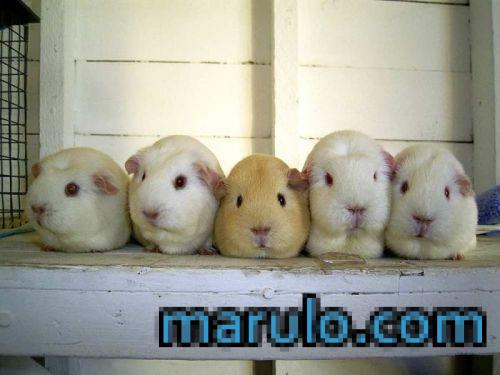 Hamstercitos