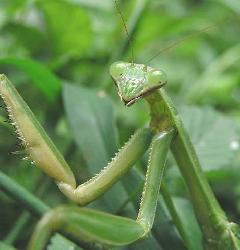 Mantis china